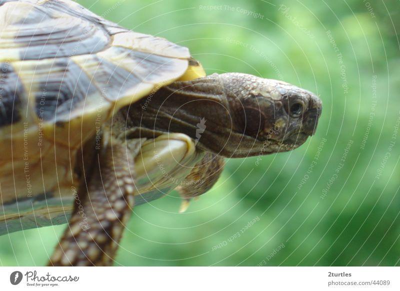 flying turtle UFO Reptil Landschildkröte Schildkröte gepanzert Griechische Landschildkröte