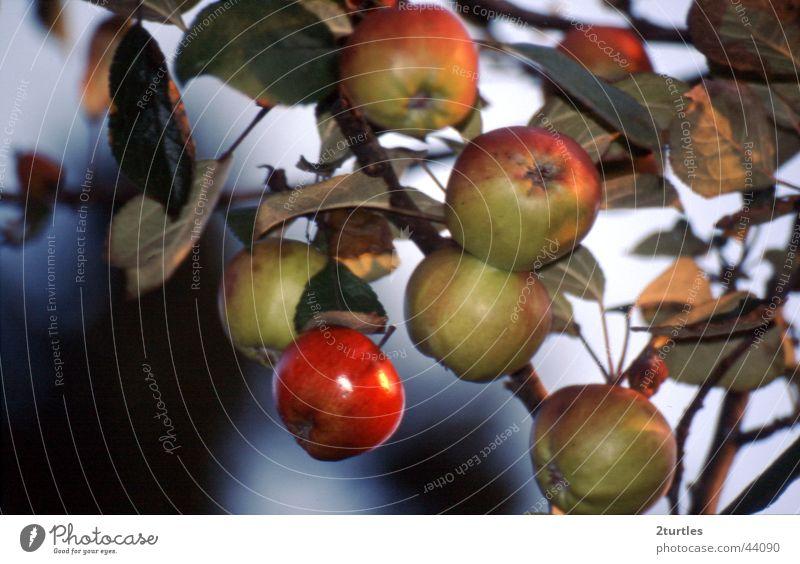 rotbäckchen Farbfoto Außenaufnahme Menschenleer Tag Frucht Apfel grün Apfelbaum vergiftet Gift rotbackig Zweig