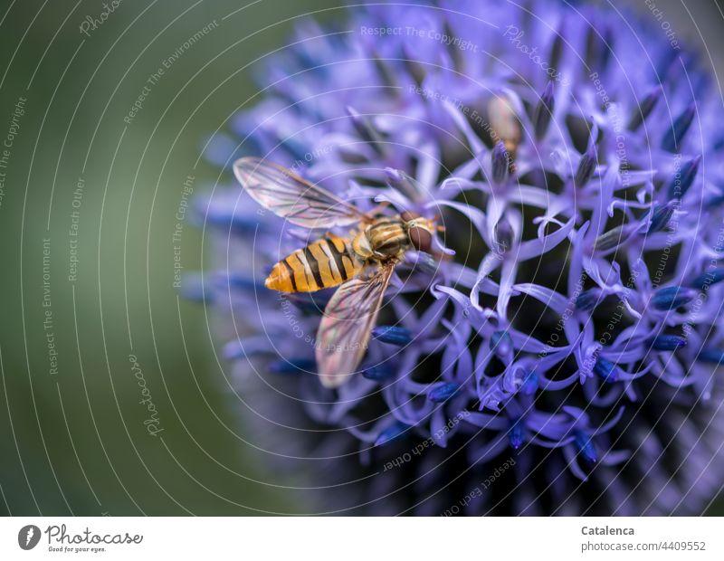 Schwebefliege auf einer blauen Kugeldistel im Garten Natur Flora Fauna Tier Insekt Fliege Pflanze Blüte Distel Sommer Blau Grün Gelb Tag Tageslicht