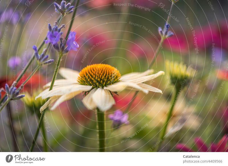 Blumenbeet mit Echinacea und Lavendel wachsen Botanik Echinacea purpura Rosa Lila Blüte Pflanze Sommer Wiese duften verblühen Tageslicht Garten Flora Natur