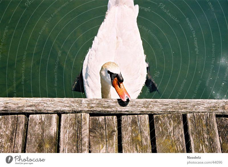 the swan Natur weiß Sonne grün Tier Steg Schwan Zürich See