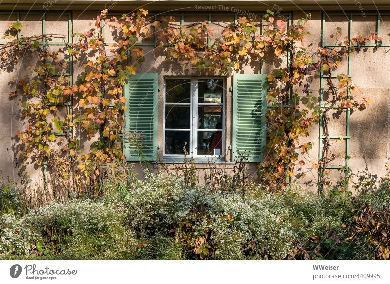 Ein von Wein umranktes Fenster eines Gartenhauses im Herbst Haus Fensterläden Fensterrahmen Pflanzen Häuschen Einblick Ranken Spalier Kletterpflanze Anbau