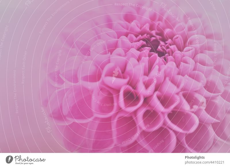 Nahaufnahme einer pinken Dahlienblüte mit weichem pinken Hintergrund ästhetisch Flowerpower Menschenleer Schwache Tiefenschärfe Detailaufnahme Makroaufnahme