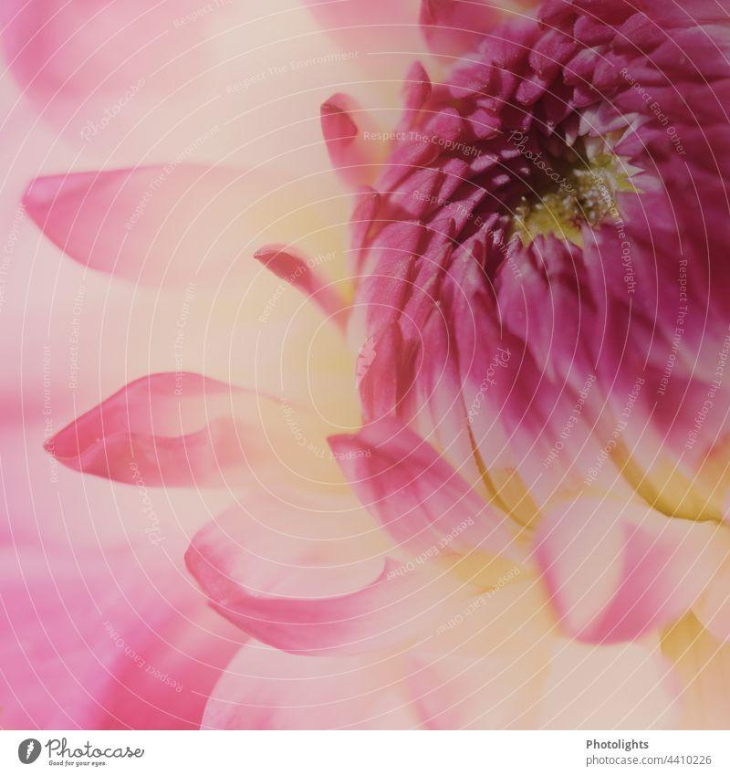 Nahaufnahme einer pink gelben Dahlienblüte mit weichem Hintergrund ästhetisch Flowerpower Menschenleer Schwache Tiefenschärfe Detailaufnahme Makroaufnahme