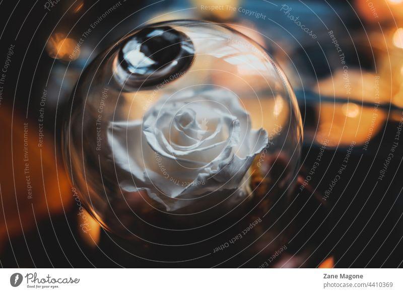 Weiße Rose in Glaskuppel Dom Roséwein Stimmung Geschenk Erhaltung Lichter fallen kalt traurig Versprechen Liebe Partnerschaft Valentinstag Romantik weiße Rose