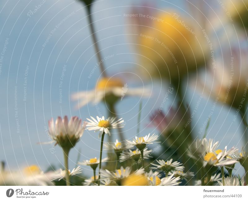 Gänseblümchenwiese Sonne Blume grün blau Sommer gelb Wiese Blüte Gras Frühling Blauer Himmel