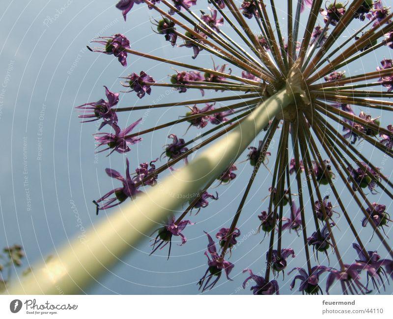 Riesen-Blume Blüte violett Stengel Froschperspektive grün Himmel blau bloom