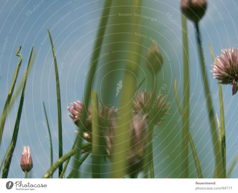 Schnittlauch grün blau Sommer Ernährung Wiese Gras Bewegung Kochen & Garen & Backen violett Blauer Himmel Schnittlauch Unkraut
