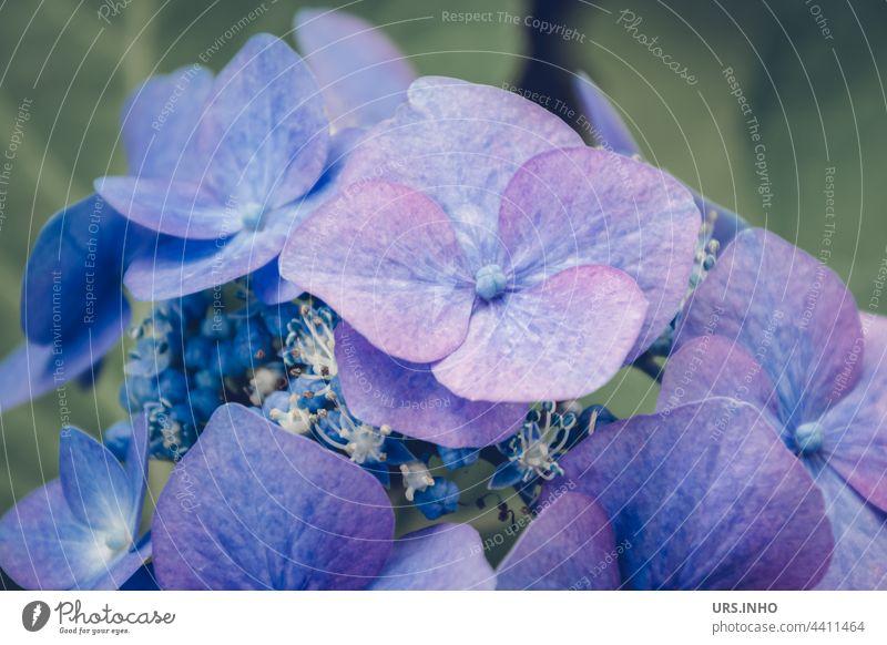 in zart schimmerndem blau strahlt die schöne Blüte einer Hortensie weil sie mit Alaun gefärbt wurde lila gießen färben Blütenblatt Knospe Blume Pflanze Blühend