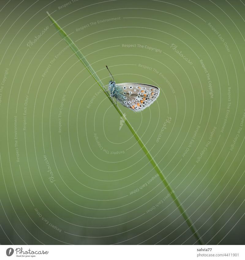 kleiner Schmetterling sitzt auf einem Grashalm Bläuling diagonal schräg grün Natur Makroaufnahme Pflanze Wiese Tierporträt 1 Menschenleer Insekt