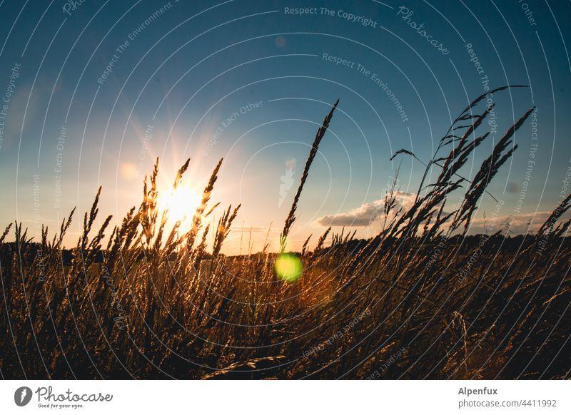Sommerabschied Sonnenuntergang Sonnenuntergangsstimmung Außenaufnahme Sonnenlicht Natur Dämmerung Abend Menschenleer Abenddämmerung Feld Gräser Gräser im Licht