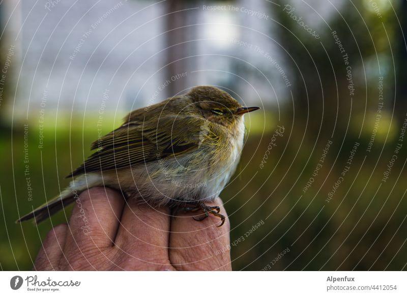 Lieber den Spatz in der Hand.... Vogel Wildvogel Tier Farbfoto Grünfink Wildtier Menschenleer Natur Schnabel Feder Tierporträt Außenaufnahme Flügel Auge