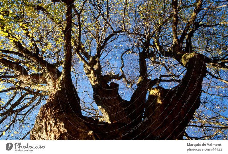 Stammvater Baum Linde Baumkrone Baumrinde Laubbaum eigenwillig Geäst Zweige u. Äste Sonne Baumstamm Perspektive alt zerklüftet astwerk Astgabel Himmel blau