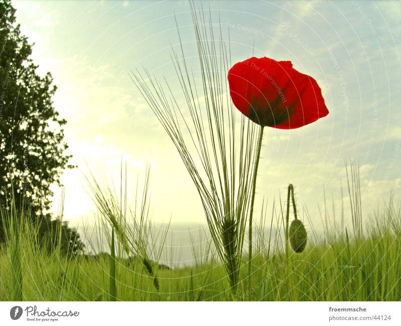 klatschmohn mit ähre Natur Sonne grün rot Wiese Feld Korn Getreide Mohn Ähren Minnesota Klatschmohn Hayfield