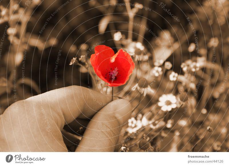 a poppy for you Farbenspiel Mohn Hand rot Feld Nahaufnahme Natur Sepia Detailaufnahme red field