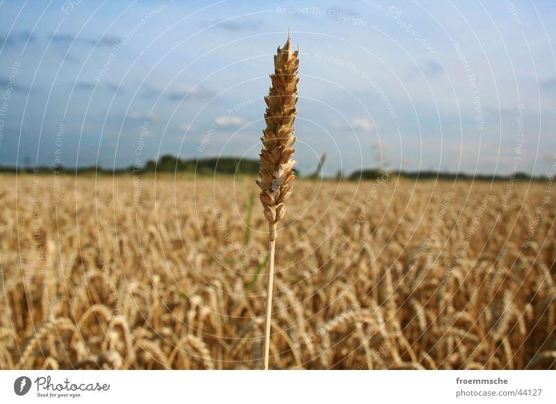 hoch hinaus Feld Ähren Natur Himmel Korn einzelgänger einzelkämpfer Landschaft field grain corn spike heaven sky loner countryside landscape