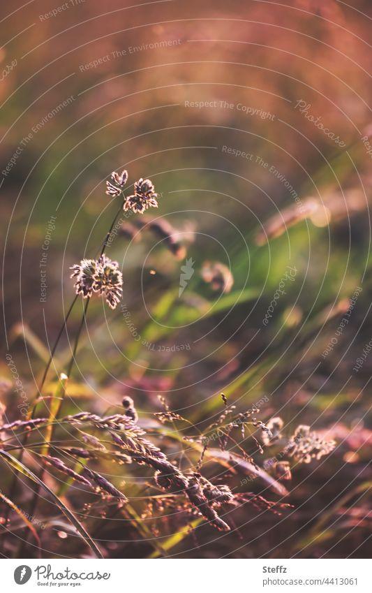 Warmes Nachmittagslicht. Gräser biegen sich langsam. Sommermüde. Gras Sommergras Haiku warmes Licht Sommerwärme warme Farbe Sommerende Sommerwiese