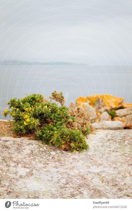Auf Felsen wachsende Toxo-Pflanze tojo Galicia Tourismus Landschaft mediterran MEER Meereslandschaft Steine Granit Horizont Textfreiraum niemand Strand Tag