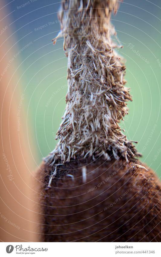 Schilf Pflanze Blüte Schilfrohr Moor Sumpf Teich Linie Blühend blau braun türkis Farbfoto mehrfarbig Außenaufnahme Nahaufnahme Strukturen & Formen Menschenleer