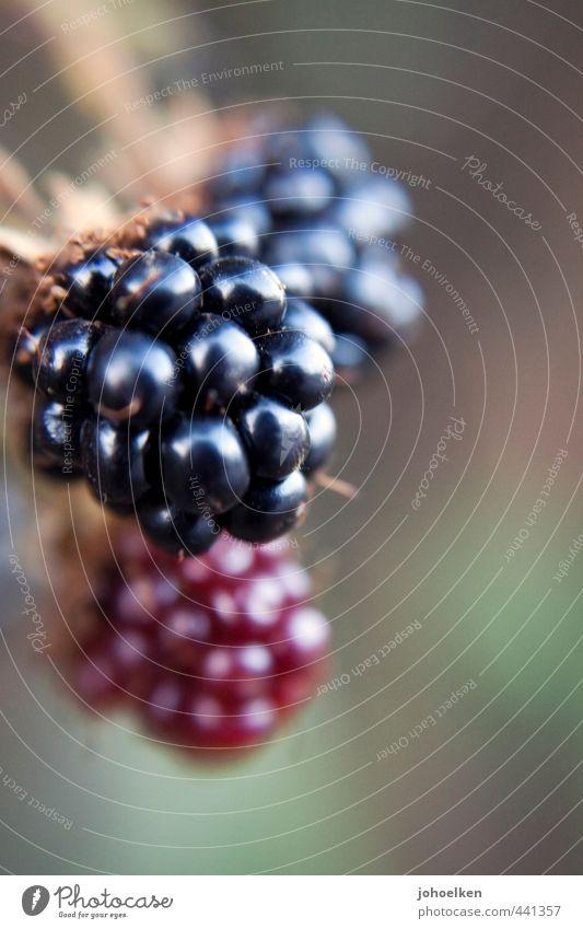 Sammlerstück Lebensmittel Beeren Brombeeren Frucht Vegetarische Ernährung Pflanze Nutzpflanze Wald hängen frisch Gesundheit lecker stachelig süß rot schwarz
