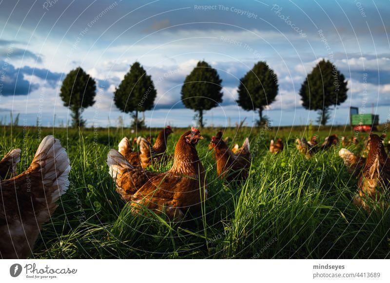 Chicken Run Bauernhof Hühner Freilandhaltung Freilandhuhn freilandhühner Tier Nutztier Außenaufnahme Farbfoto Tierporträt Vogel Biologische Landwirtschaft