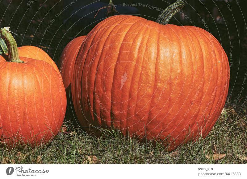 Erntedankfest. Halloween. Großer orangefarbener Kürbis Nahaufnahme im Freien im Sonnenlicht. Mehrere Kürbisse auf dem Gras im Garten. Ein großer orangefarbener Kürbis leuchtet in der Sonne.