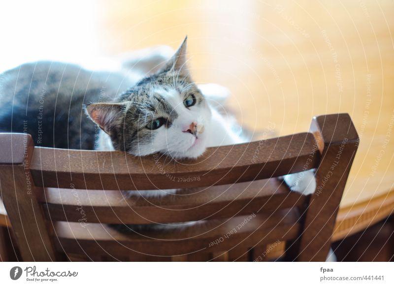 Stubentiger Tier Haustier Katze Tiergesicht Pfote 1 Stuhllehne Holz frech Freundlichkeit Fröhlichkeit frisch Glück hell Wärme gelb Stimmung Zufriedenheit
