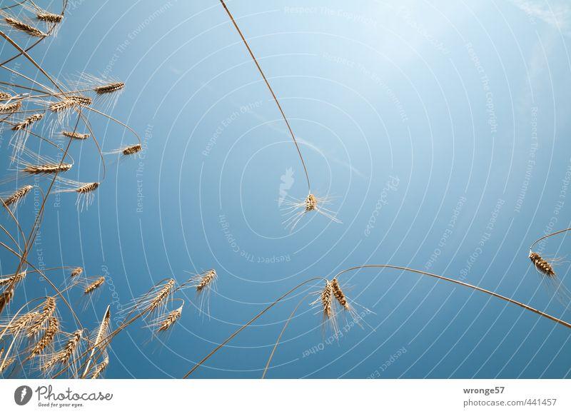 Im Kornfeld Natur Pflanze Himmel Sonne Sonnenlicht Sommer Schönes Wetter Nutzpflanze Getreide Getreidefeld Ähren Feld blau gelb gold Ackerbau himmelblau