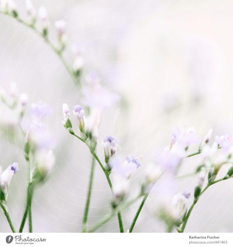 Ein Montag-Morgen-Gruß Umwelt Natur Pflanze Blume Sträucher Grünpflanze Nutzpflanze Wildpflanze Blühend Wachstum blau grün violett rosa weiß Blüte Blütenknospen
