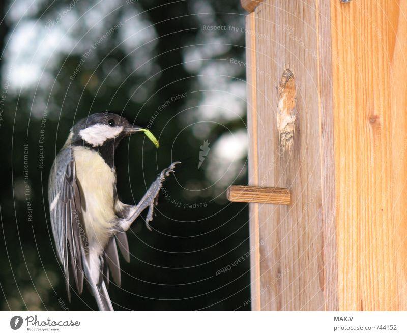 Abendessen Kohlmeise Meisen Vogel Nistkasten Nest Futter füttern Sperlingsvögel Brutpflege Vogelkasten fliegen Raupe Flügel Feder Garten Futterhäuschen