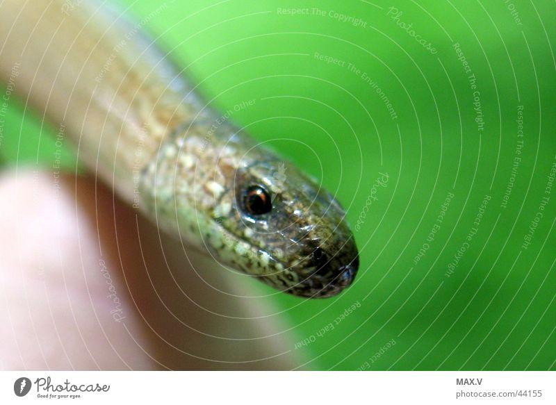 Blindschleiche auf der Hand grün Auge braun nah Glätte Scheune