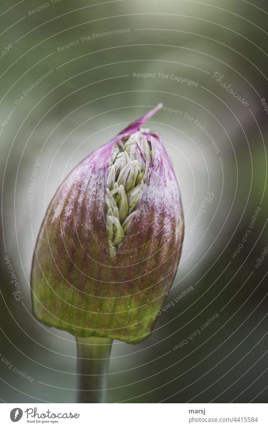 Blütenknospe des Zierlauchs. Zum Platzen gefüllt. Zierlauchblüte platzen Gartenpflanzen Natur Blume violett Leben Mut Tatkraft Überraschung Beginn Freiheit