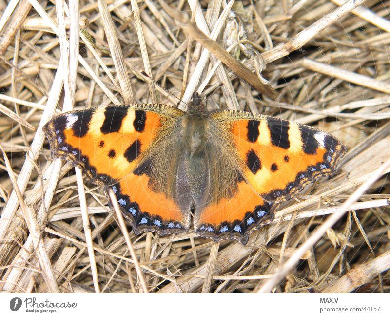 Papillon Tier Verkehr Flügel Insekt Schmetterling Stroh