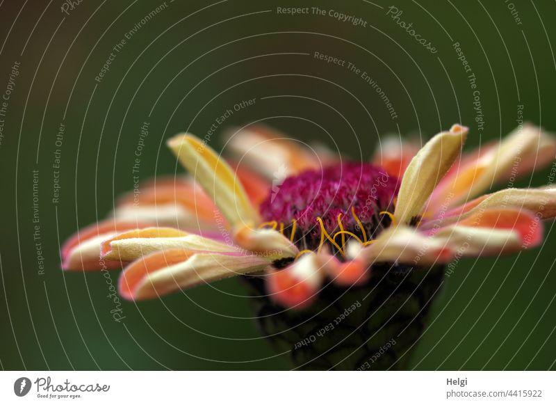 Blüte einer Zinnie Blume Blütenblatt Nahaufnahme Makroaufnahme Garten Zierpflanze Pflanze schwache Tiefenschärfe gelb grün rosa rot Natur Farbfoto
