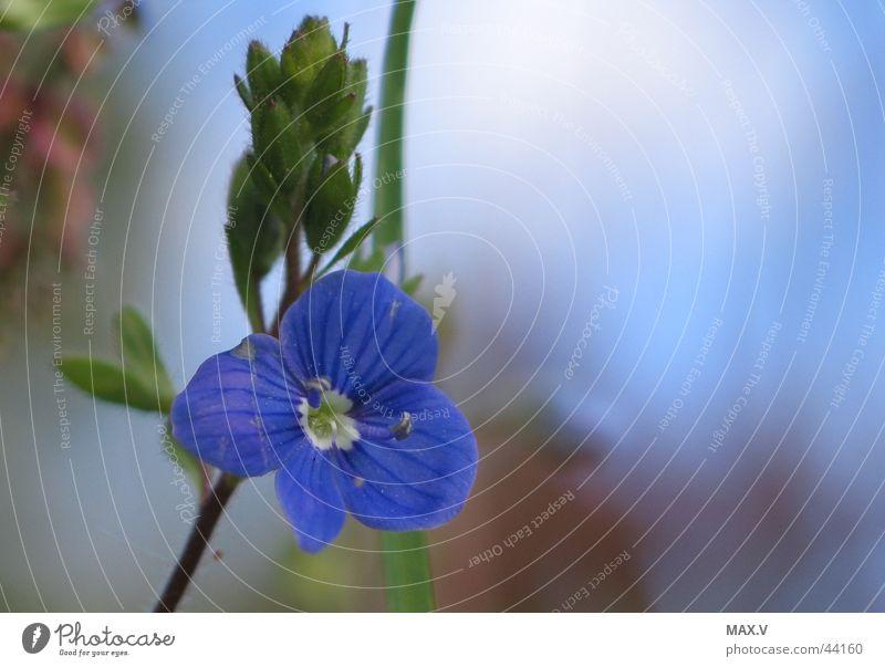 Klein und Schön blau Pflanze Blüte nah Blütenknospen zierlich Blütenblatt