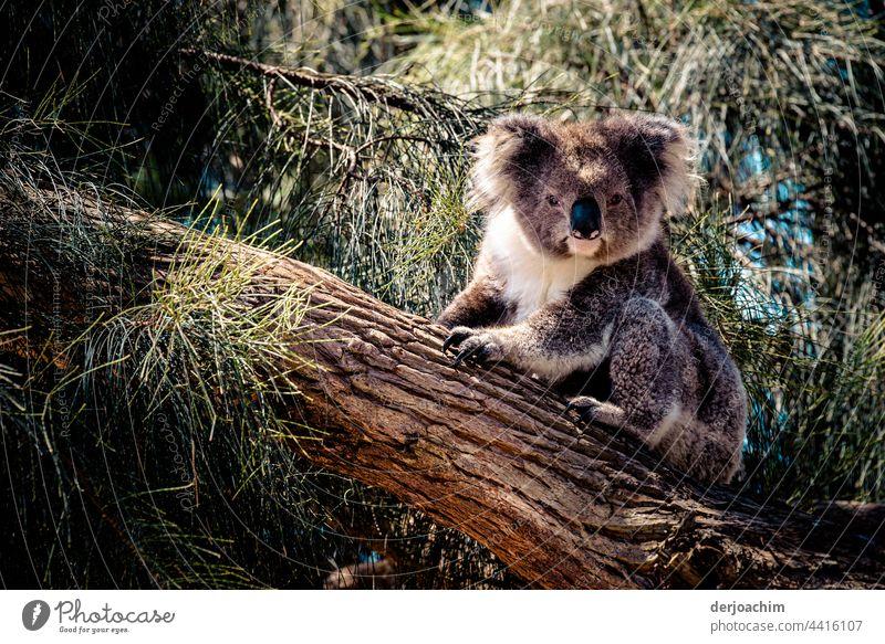 Ein kleiner Koala sitzt auf einem Baumstamm und schaut zu dem Fotografen. Was will der denn schon wieder, und streckt ihm die Zunge heraus... Australien Natur