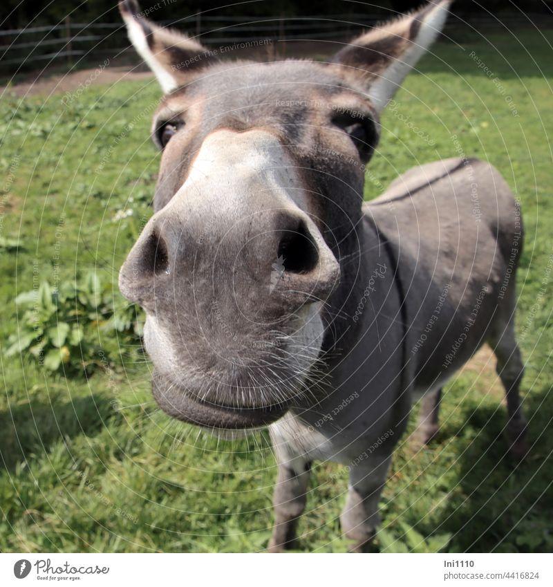 Eselschnute mit Barthaaren Hausesel Equus asinus asinus Nutztier Grautier Huftier Fellstreifen Aalstrich Blickkontakt Kopf Ohren Schnauze Nüstern