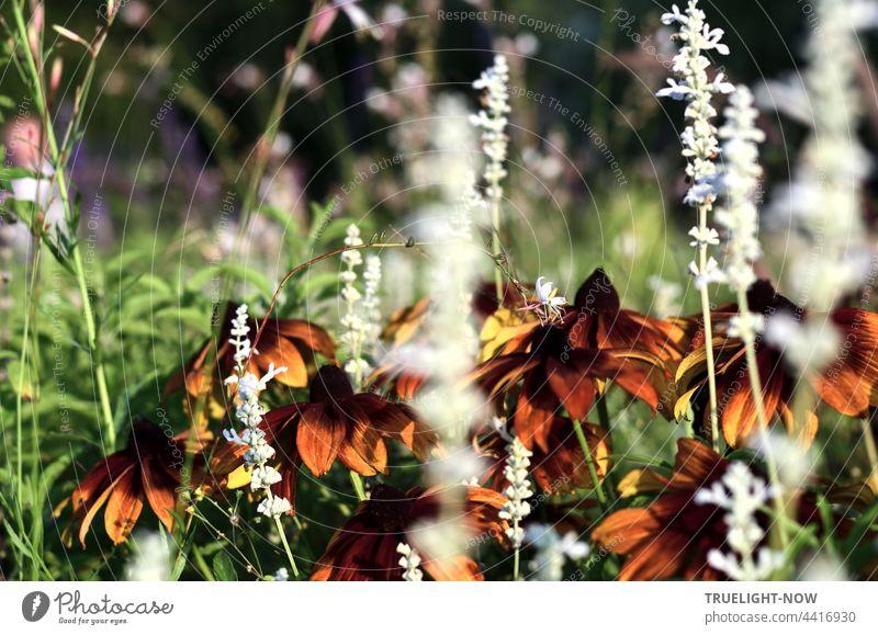 Echinacea. Heilpflanze und Gartenzier. Glutvoll der Abschied. Echinacea purpurea roter Sonnenhut Schein-Sonnenhut Blüten Blütenblätter Immunsystem Erkältungen