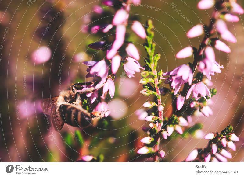 es blüht die Heide, kleine Blüten und Bienen, füllen das Herz Heideblüte Haiku blühende Heide Heidekraut Besenheide Heide blüht Heidestrauch Calluna vulgaris