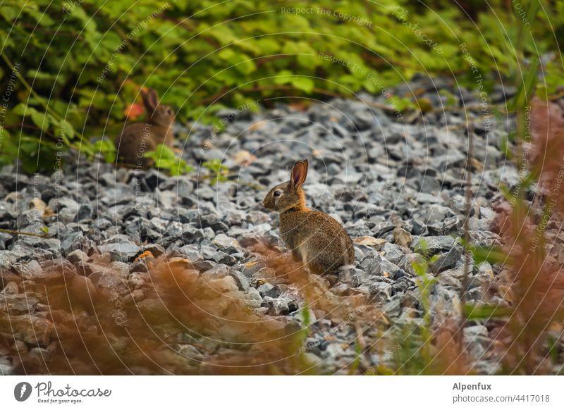 Kaninchen an Schotter Hase & Kaninchen Osterhase Ostern Tier Ohr Wildtier Natur niedlich Jungtier Fell Tierporträt Farbfoto Außenaufnahme Menschenleer
