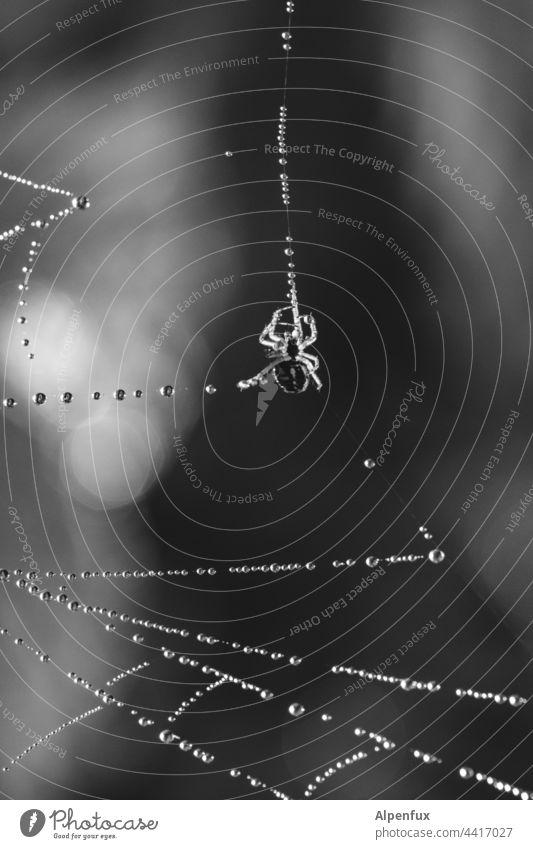 Glasperlenspiel   Ordnung im Chaos Spinne Kugeln Netz Spinnennetz Makroaufnahme Wasserperlen Nahaufnahme Tier Insekt Wassertropfen Natur Außenaufnahme Tau