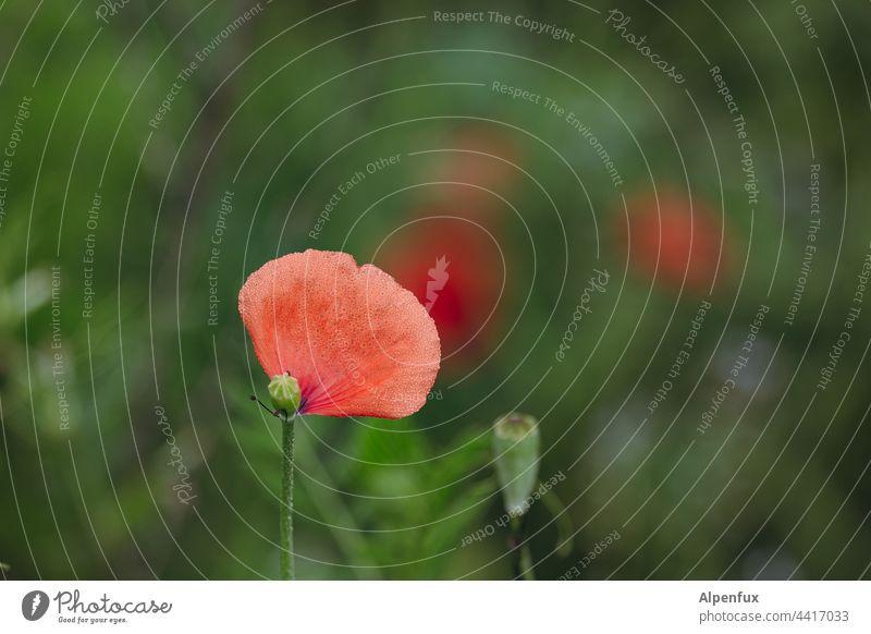 letzter Gruß Mohn Mohnblüte Abschied abschiedsbrief Blume Menschenleer Sommer Blüte Farbfoto Pflanze Natur rot Außenaufnahme Frühling roter mohn Klatschmohn