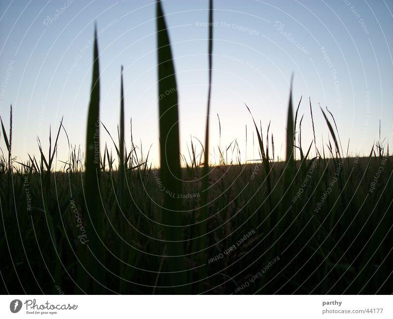 Blick aus dem Felde Himmel Sonne Gras Feld Getreide Korn