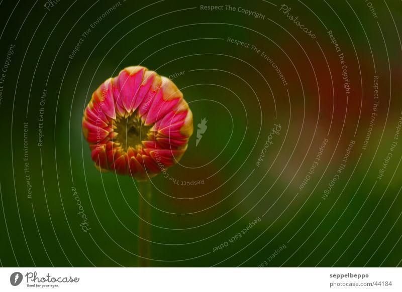 Freund_oder? Blume rund zentral grün geheimnisvoll Pflanze