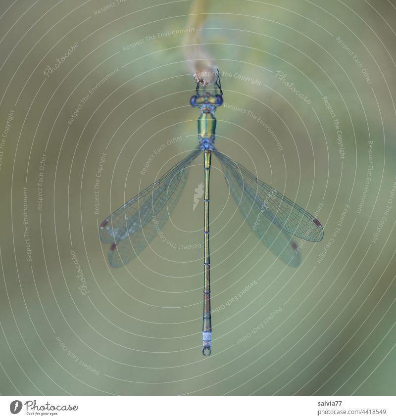 blaugrüne, filigrane Libelle aus der Vogelperspektive Natur Insekt Flügel Nahaufnahme Makroaufnahme Tier 1 Tierporträt Libellenflügel Facettenauge sitzen