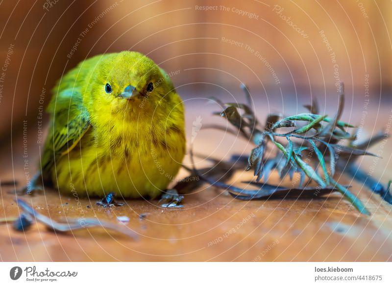 Gelbspötter, lateinischer Name 'Setophaga petechia', ruht sich nach einem Absturz auf einer Holzveranda aus, Atitlansee, Guatemala Vogel Klappergrasmücke