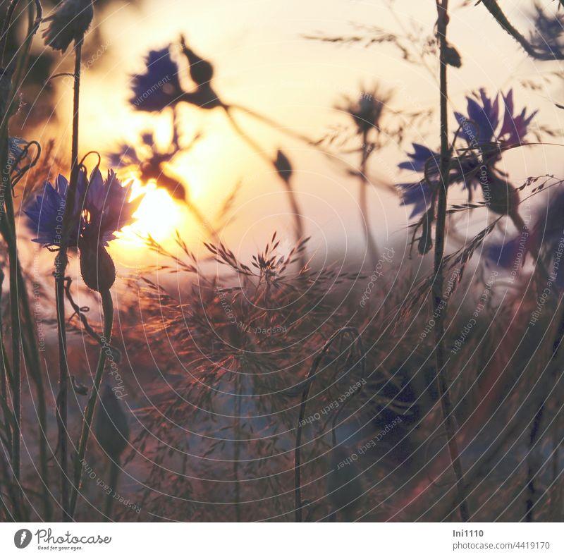 Sonnenuntergang Kornblumen und Gräser Sommer leuchten Feldrand Abendspaziergang Stille Tagesausklang Abendstimmung Licht Abendlicht Gäser Silhouetten blau gelb