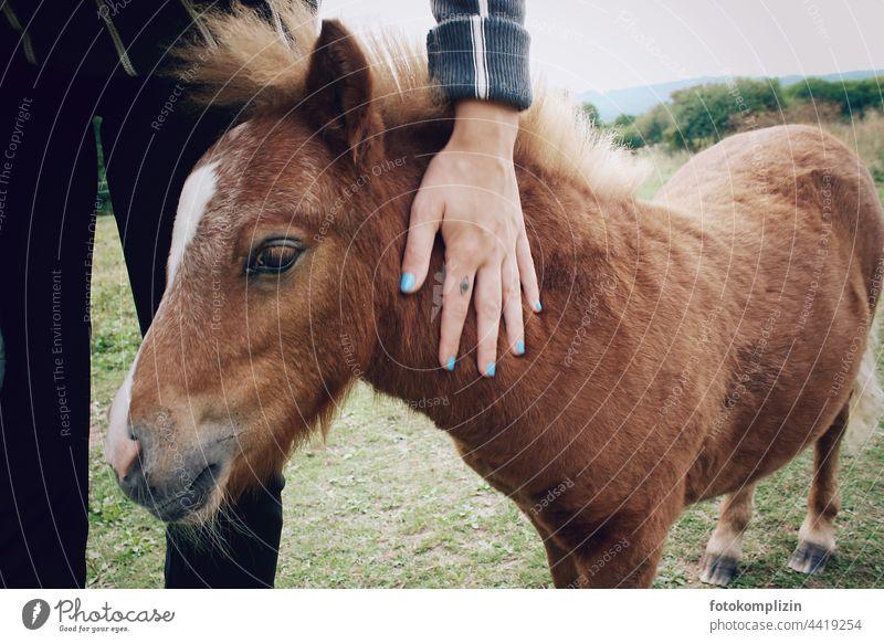 streichelnde Hand und Ponyfohlen Fohlen Tierjunges Tierporträt Tiergesicht Tierliebe Fell Blick Pferd Tierkind klein sanft behutsam Liebkosung Nähe süß