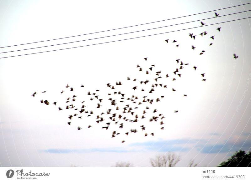 Vorbereitung für den Flug in den Süden Vögel Stare Zugvögel Schwarm Schwarmverhalten Schutz Gruppe Trupp fliegen Pulk Vogelzug Himmel Flugformation sammeln
