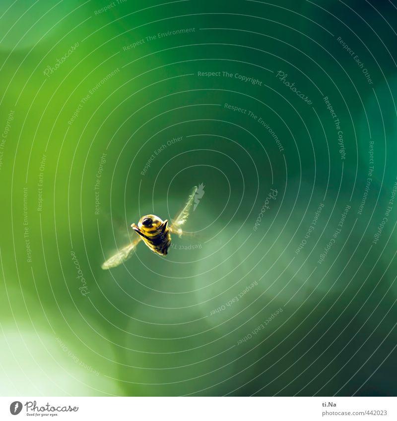 surrrrr grün gelb Wiese klein natürlich Garten fliegen elegant wild Wildtier Flügel Jagd Schwebfliege